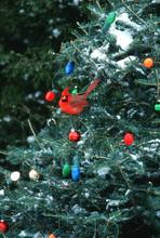 Northern Cardinal (Cardinalis Cardinalis) Male In Christmas Tree In Winter, Marion County, Illinois