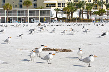 USA, Florida, Sarasota. Crescent Beach, Siesta Key Mixed Shorebirds