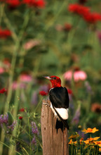 Red-headed Woodpecker (Melaner...
