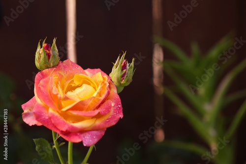 Orange and pink flower, rose with water drops on it. Close up