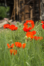 USA, Idaho, Wild Orange Poppies In A Field Next To A House That Burned Down.