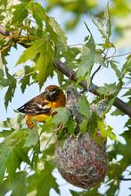Baltimore Oriole (Icterus Galbula) Female At Nest, Marion, Illinois, USA.
