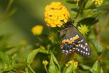 Black Swallowtail Butterfly (Papilio Polyxenes) Male On New Gold Lantana (Lantana Camara), Marion, Illinois, USA.