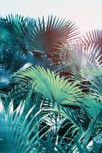 Borassus Flabellifer,Sugar Palm In Garden