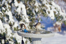 Northern Mockingbird (Mimus Polyglottos) At Heated Bird Bath In Winter Marion County, Illinois
