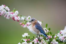 Eastern Bluebird (Sialia Sialis) Female In Crabapple Tree (Malus Sp.) In Spring Marion, Illinois, USA.