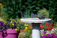Gray Catbird (Dumetella Caroli...