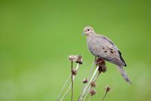 Mourning Dove (Zenaida Macrour...