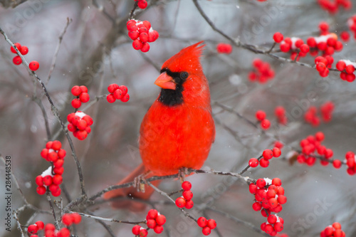 Northern Cardinal (Cardinalis Cardinalis) male in Common Winterberry bush (Ilex Poster Mural XXL