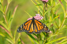Monarch Butterfly (Danus Plexi...