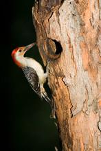 Red-bellied Woodpecker (Melanerpes Carolinus) Male At Nest Cavity, Marion, Illinois, USA.