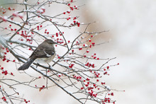 Northern Mockingbird (Mimus Po...