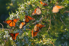 Monarch Butterflies (Danaus Pl...