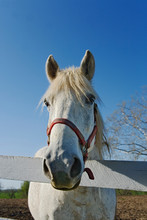 White Horse Looking Over Fence...