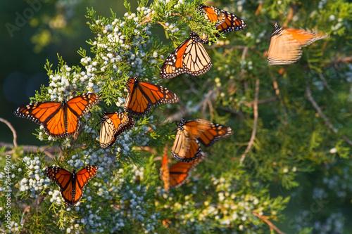 Monarch butterflies (Danaus plexippus) roosting in Eastern Red Cedar tree (Juniperus virginiana), Prairie Ridge State Natural Area, Marion, Illinois, USA Wallpaper Mural