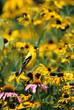 American Goldfinch (Carduelis tristis) male on Black-eyed Susans Marion County, Illinois