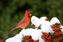 Northern Cardinal (Cardinalis Cardinalis) Male In Scarlet Firethorn (Pyracantha Coccinea) In Winter, Marion County, Illinois