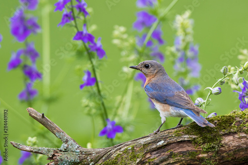 Photo Eastern Bluebird (Sialia Sialis) female in flower garden, Marion County, IL