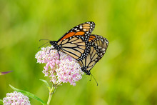Monarch Butterflies (Danus Ple...