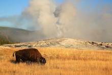 USA, Yellowstone National Park, Montana, Old Faithful And Bison