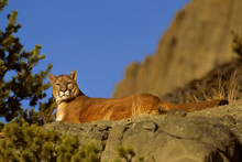 Mountain Lion (Felis Concolor)...