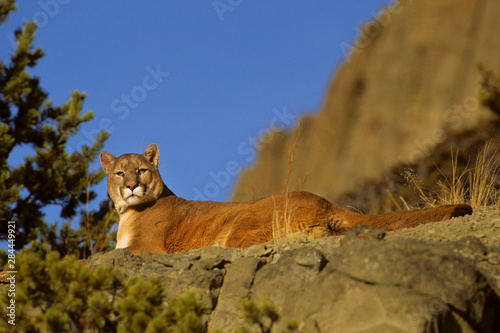 Door stickers Puma Mountain Lion (Felis Concolor) (Captive), Montana