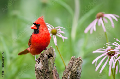 Canvas Print Northern Cardinal (Cardinalis cardinalis) male on fence post by pale purple coneflowers (Echinacea pallida) near flower garden, Marion, Illinois, USA