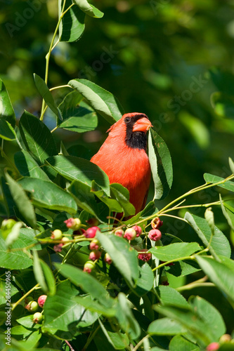 Fotomural  Northern Cardinal (Cardinalis cardinalis) male eating Shadblow Serviceberry (Amelanchier canadensis)