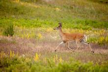 National Bison Range, Montana, USA. White-tailed Deer Buck Running Across A Meadow.