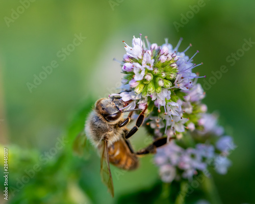 Honey Bee on purple wild flower. Negative space available left off subject.