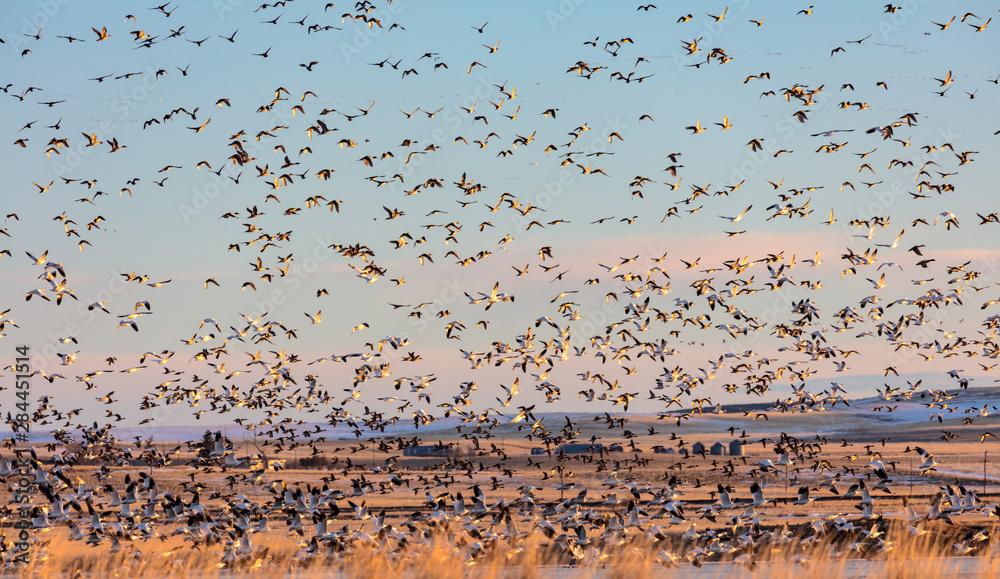Fototapety, obrazy: Snow geese and northern pintail ducks flying at Freezeout Lake Wildlife Management Area near Choteau, Montana, USA