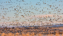 Snow Geese And Northern Pintail Ducks Flying At Freezeout Lake Wildlife Management Area Near Choteau, Montana, USA