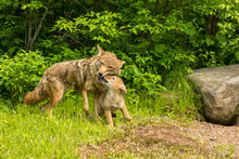 USA, Minnesota, Minnesota Wildlife Connection. Captive Coyote Adult And Pup Greeting. Credit As: Cathy & Gordon Illg / Jaynes Gallery / DanitaDelimont.com