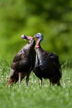 Eastern Wild Turkeys (Meleagris Gallopavo) Jakes In Field, Holmes, Mississippi, USA.