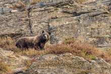 Adult Grizzly Bear In Glacier National Park, Montana, USA