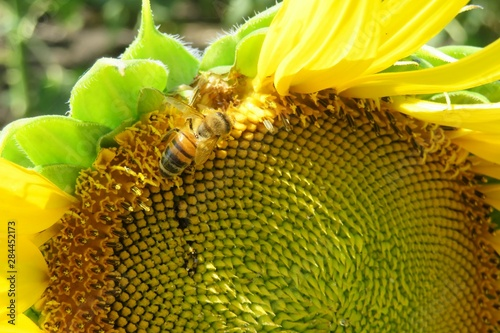 In de dag Zonnebloem Bee on close up of sunflower