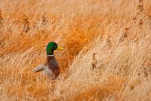 Mallard (Anas Platyrhynchos) Feeding In Marsh,