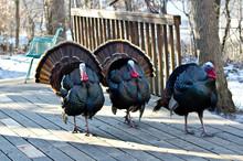 USA, Minnesota, Mendota Heights. Wild Urban Turkey, Displaying