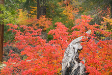 USA, Oregon, Willamette National Forest. Vine Maple Tree Stump In Autumn Foliage.