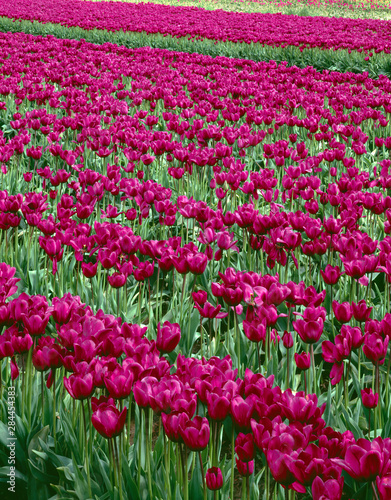 USA, Oregon, Willamette Valley, Field of purple tulips display spring bloom Canvas Print
