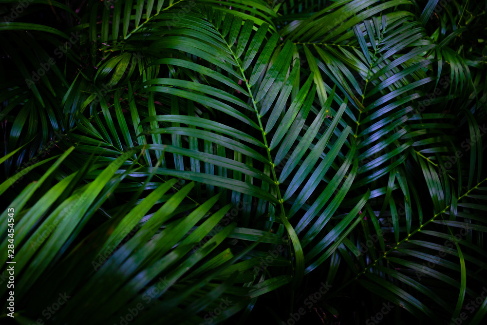 Fototapety, obrazy: Dew and Green leaves background. Green leaves color dark tone after raining in the morning.Tropical Plant,environment,fresh,photo concept nature and plant.