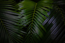 Dew And Green Leaves Background. Green Leaves Color Dark Tone After Raining In The Morning.Tropical Plant,environment,fresh,photo Concept Nature And Plant.
