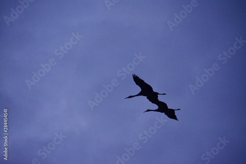Photo Pair of Sandhill Cranes, silhouette, in flight, Bosque del Apache National Wildl