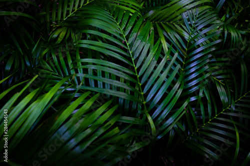 Foto auf Leinwand Palms Dew and Green leaves background. Green leaves color dark tone after raining in the morning.Tropical Plant,environment,fresh,photo concept nature and plant.
