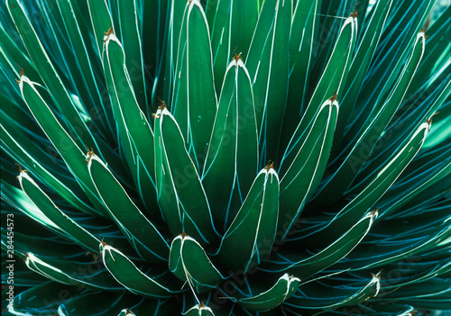 Fotografia This Queen Victoria agave plant was on display at the Albuquerque botanical Gard
