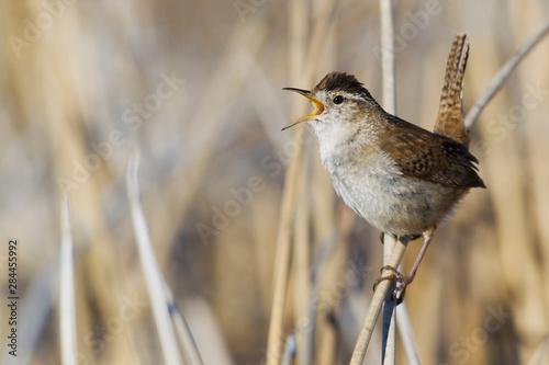 Slika na platnu Marsh Wren Singing