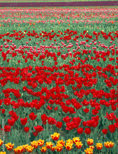 Photo USA, Oregon, Willamette Valley, Field of colorful tulips display spring bloom