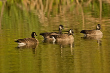 Four Canadian Geese, Swimming, Commonwealth Lake Park, Beaverton, Oregon, USA