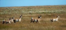 Pronghorns (Antilocapra Americ...