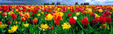 Fototapeta Tulipany - USA, Oregon, Willamette Valley. Spring blooms create a colorful landscape at a tulip farm near Mount Angel, in Oregon's Willamette Valley.